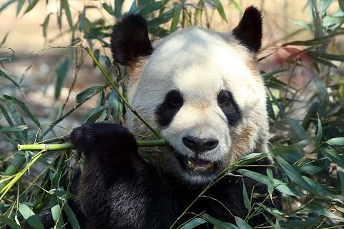 Panda Fever Returns to Tokyo