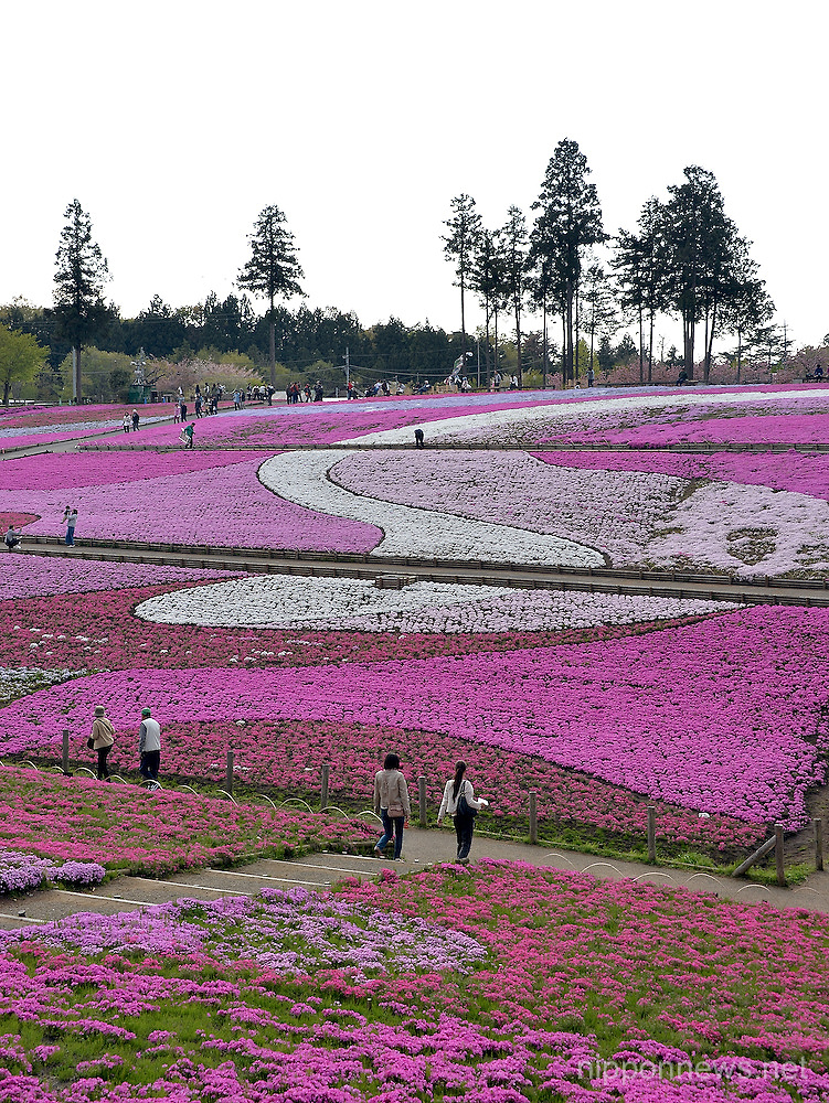Moss phloxes in full bloom at Hitsujiyama Park in Chichibu