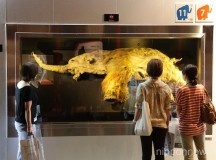 39,000 Year-Old Woolly Mammoth Showcased in Yokohama