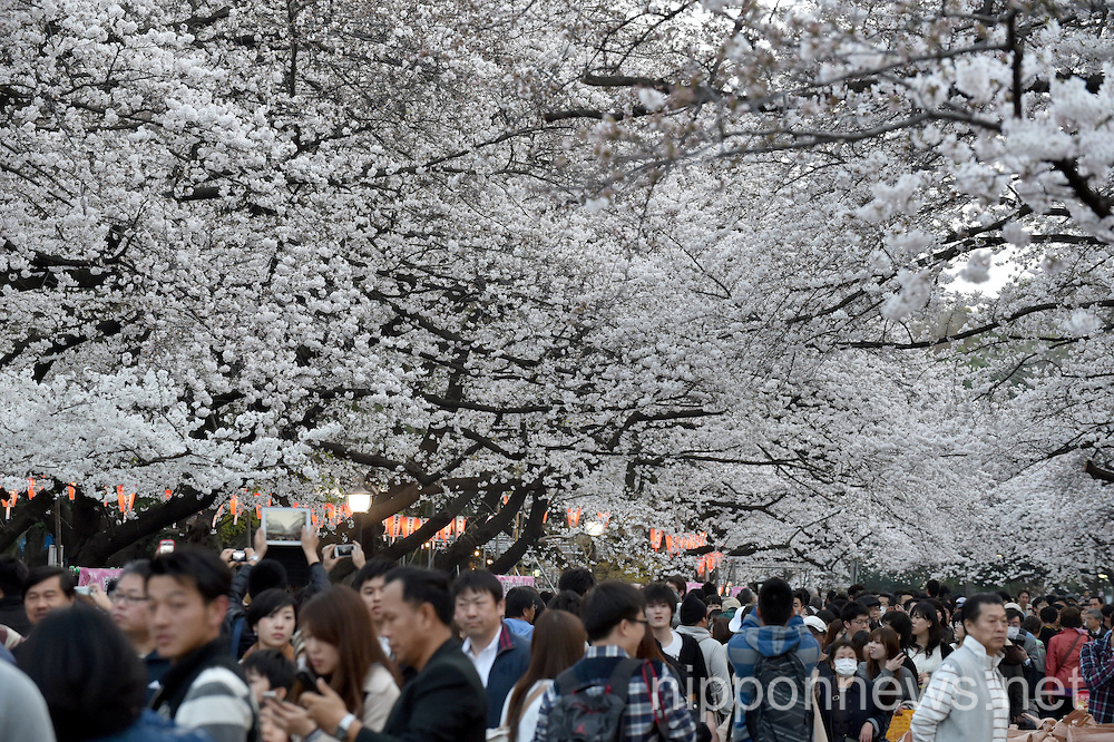 Full Bloomed Cherry Blossoms at Ueno Park