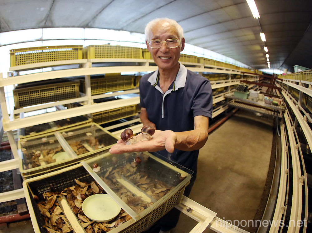 Japanese farmer breeding rare Escargot de Burgogne snails