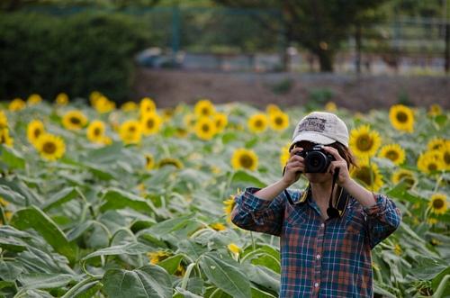 Sunflowers in BloomSunflowers in Bloomひまわり畑Sunflowers in Bloom