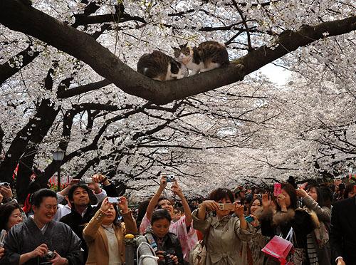 Cherry Blossoms in TokyoCherry Blossoms in TokyoCherry Blossoms in TokyoCherry Blossoms in Tokyo