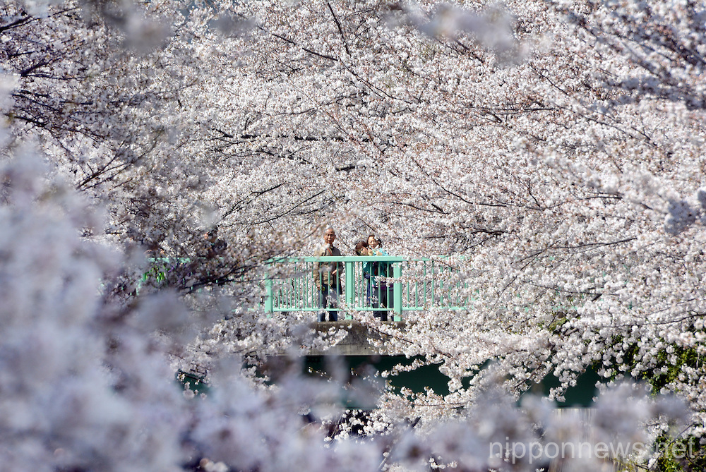 Cherry blossoms in Japan 2013