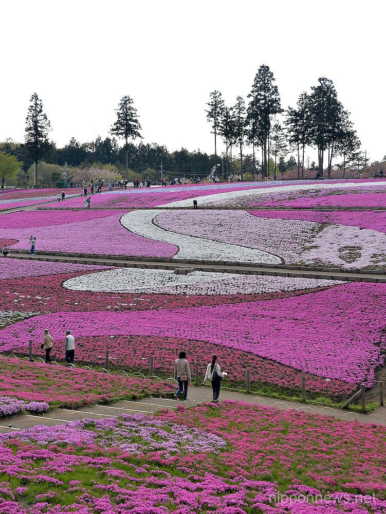 Moss phloxes in full bloom at Hitsujiyama Park in Chichibu