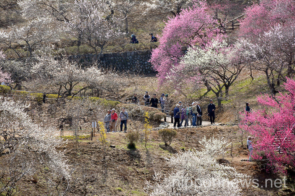 Plum blossoms at Yoshino Plum Garden