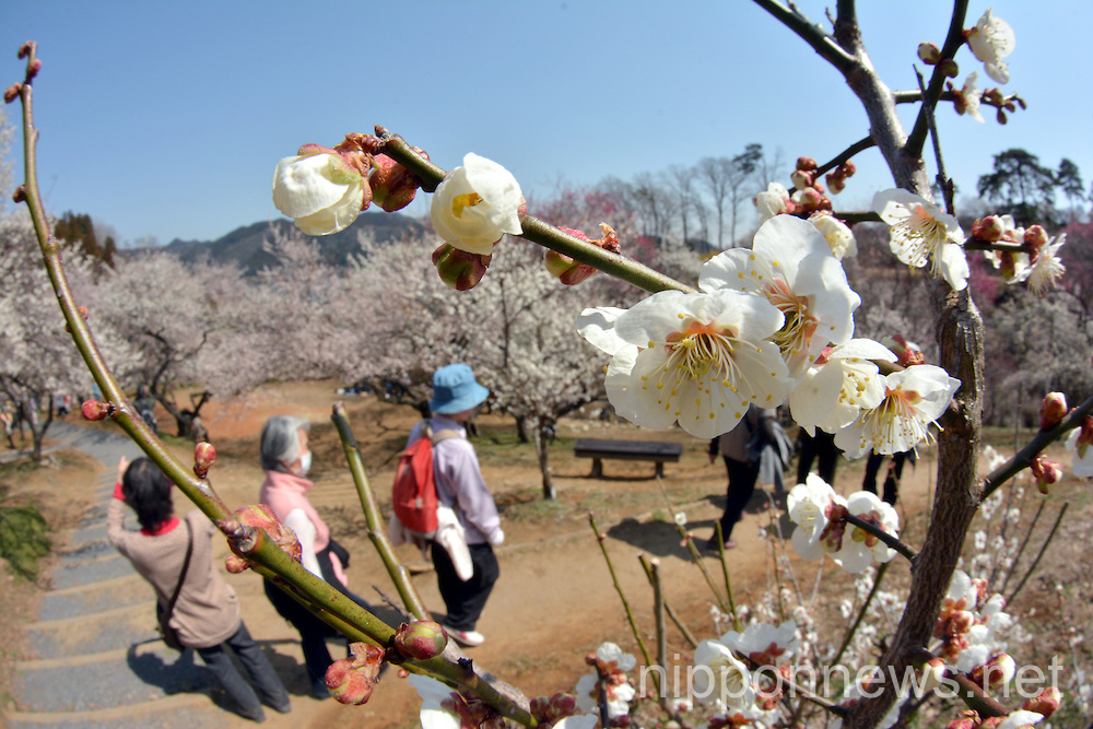Plum Blossoms at Yoshino Plum GardenPlum Blossoms at Yoshino Plum GardenPlum Blossoms at Yoshino Plum GardenPlum Blossoms at Yoshino Plum GardenPlum Blossoms at Yoshino Plum Garden