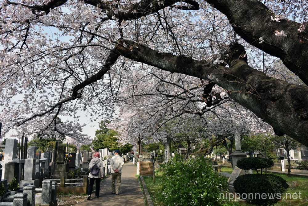 Somei-Yoshino, the most popular variety of cherry blossom in Japan