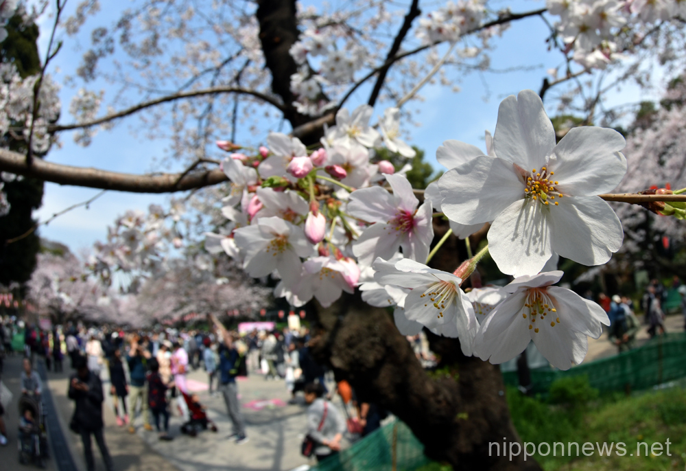 Hanami or cherry blossom viewing parties in Ueno Park in Tokyo