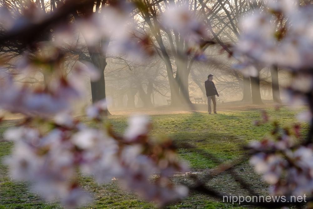 A man strolling through Yoyogi Park is seen through cherry blossoms.
