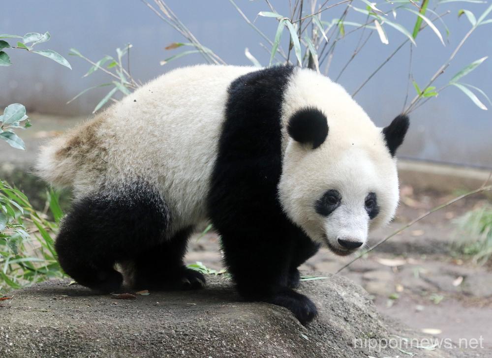 Giant panda Xiang Xiang starting her adult life